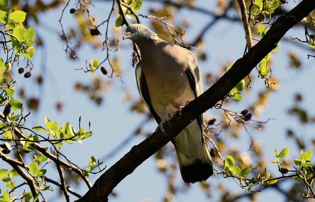 Jak odrobaczyć gołębie?