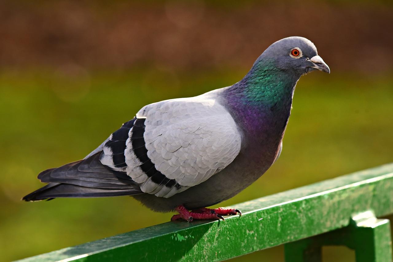 Gołębie – siarczan miedzi