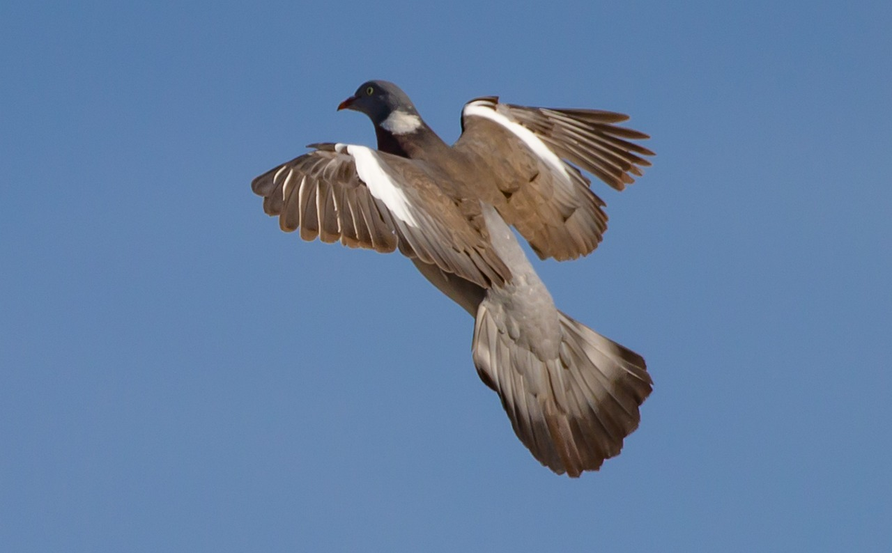Karmnik dla gołębi