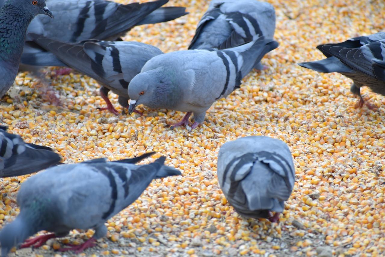 Mieszanka dla gołębi czyli jak karmić gołębie?