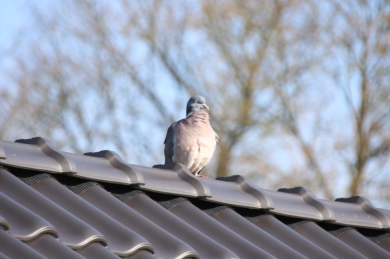 Młode gołębie – regały dla młodych gołębi