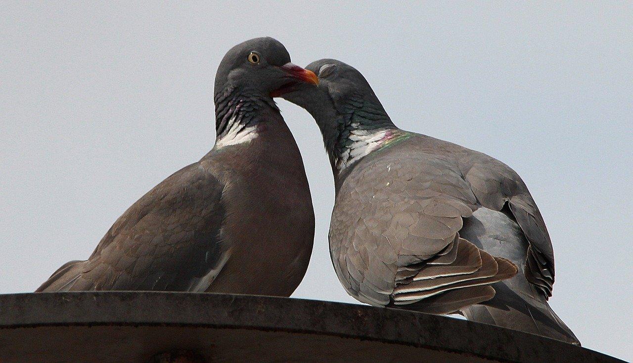 Hodowla gołębi – najważniejsze kwestie. Ruszta podłogowe dla gołębi