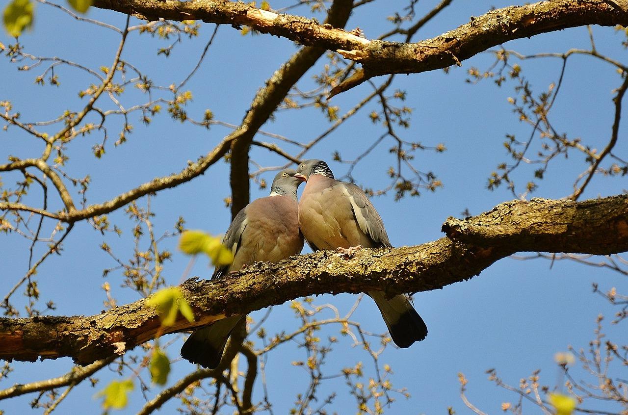 Gołębie – pasja dla każdego. Ziarna dla gołębi
