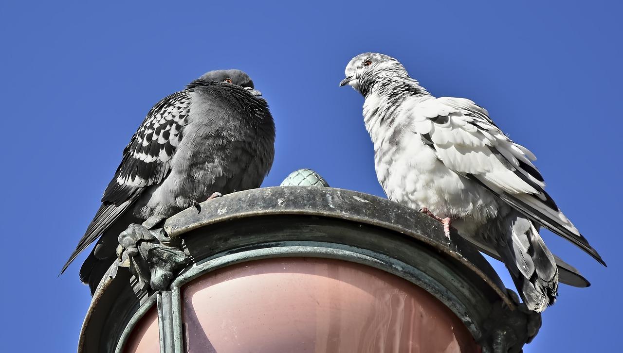 Problemy zdrowotne u gołębi. Molik dla gołębi gdzie kupić