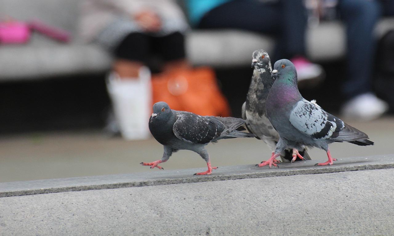 Hodowla gołębi – jak dbać o zdrowie zwierząt? Karma energetyczna dla gołębi