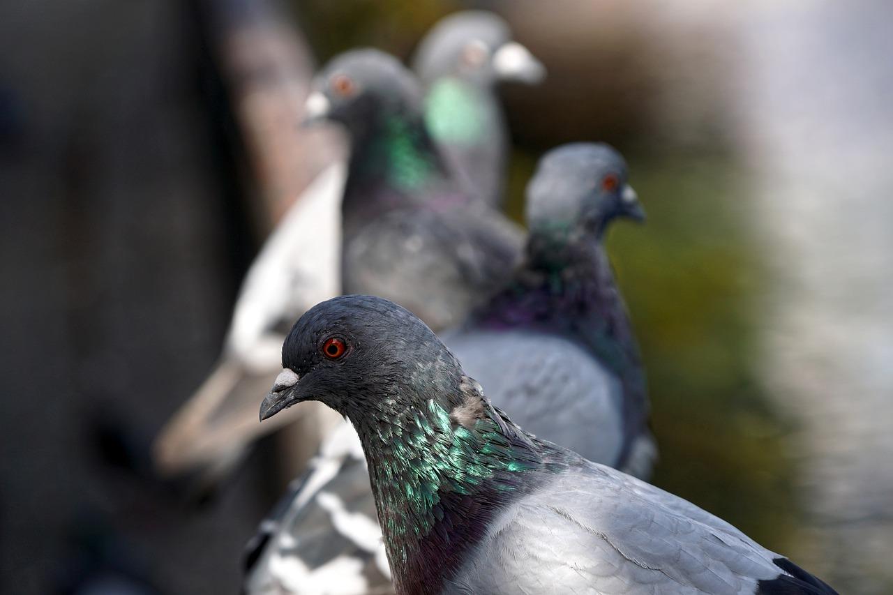 Opieka nad gołębiami
